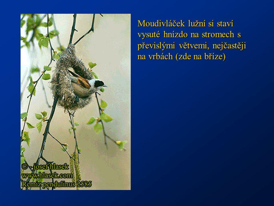 Potápka černokrká na hnízdě z tlejících zbytků rostlin