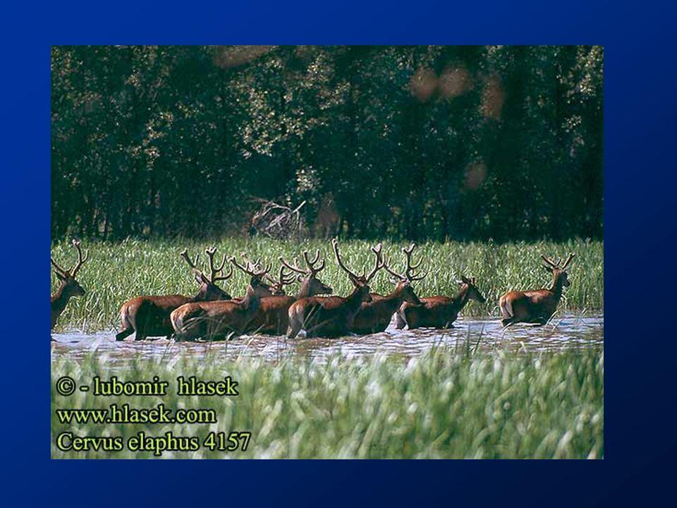http://www.greglasley.net/Images/Nutria-F3.jpg Nutrie se živí mokřadními rostlinami, např.