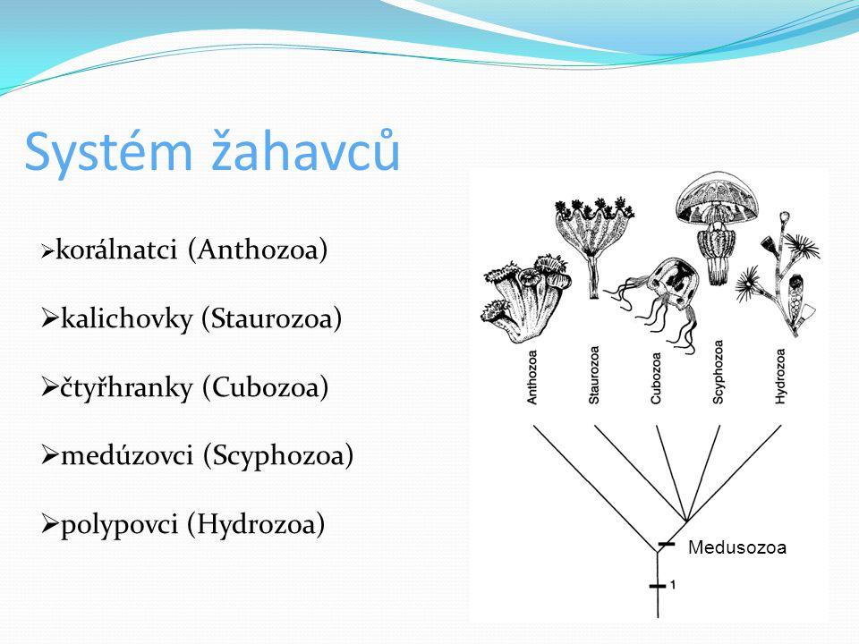 Charakteristika  nejpočetnější skupina živočichů se dvěma zárodečnými listy ( Diblastika)  vodní živočichové  převážně mořští  velikostí - od několika milimetrů po 2 m  přítomnost žahavých buněk – knidocytů  paprsčitě souměrné tělo (tělem lze proložit několik rovin souměrnosti )  koloniálně žijící žahavci se podílejí na stavbě útesů