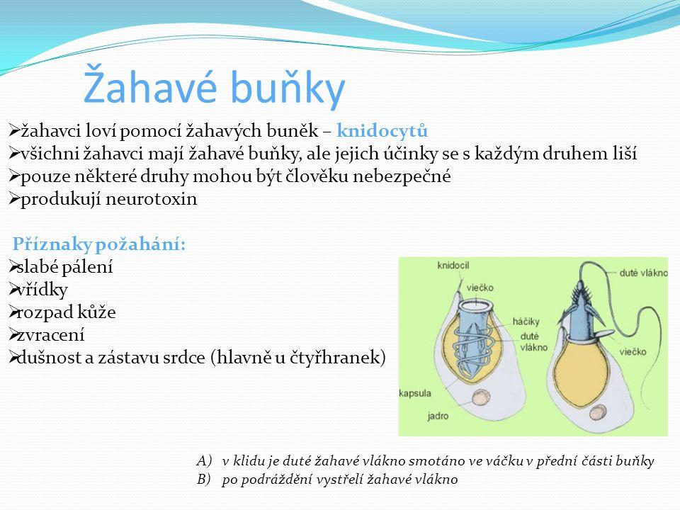 Žahavé buňky  žahavci loví pomocí žahavých buněk – knidocytů  všichni žahavci mají žahavé buňky, ale jejich účinky se s každým druhem liší  pouze n