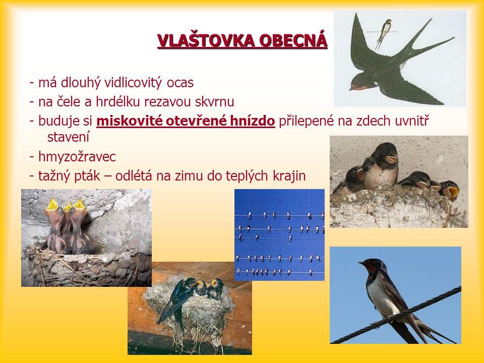 VLAŠTOVKA OBECNÁ - má dlouhý vidlicovitý ocas - na čele a hrdélku rezavou skvrnu - buduje si miskovité otevřené hnízdo přilepené na zdech uvnitř stave