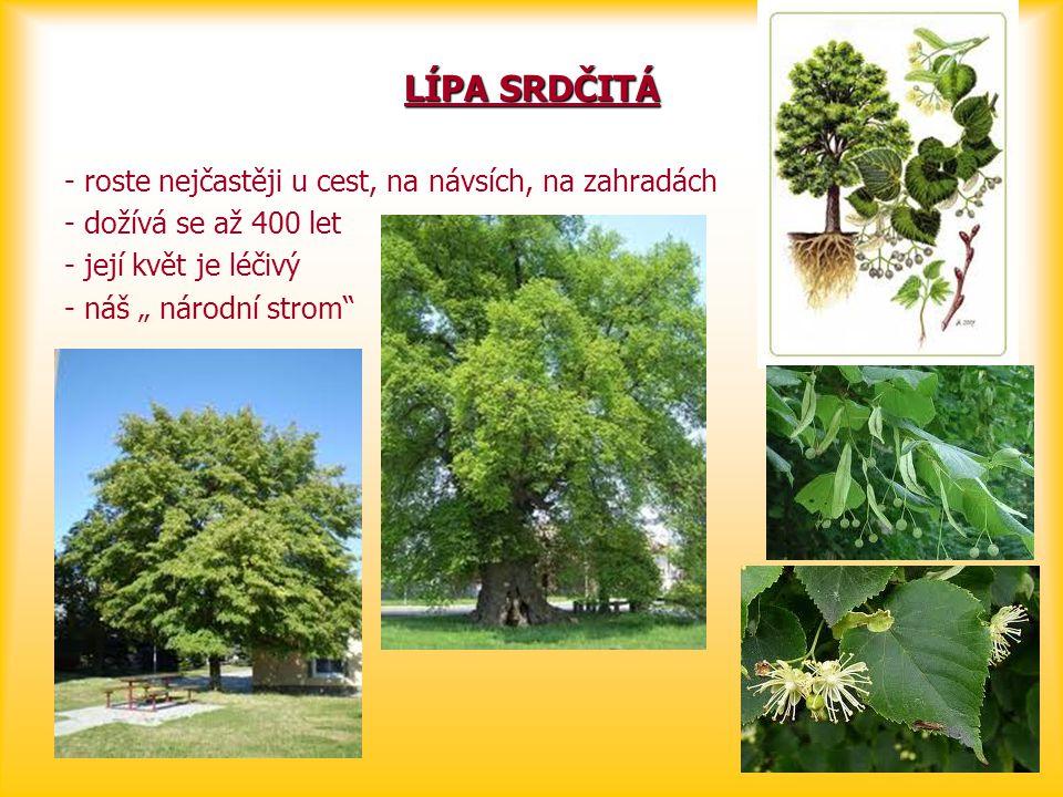 """LÍPA SRDČITÁ - roste nejčastěji u cest, na návsích, na zahradách - dožívá se až 400 let - její květ je léčivý - náš """" národní strom"""""""