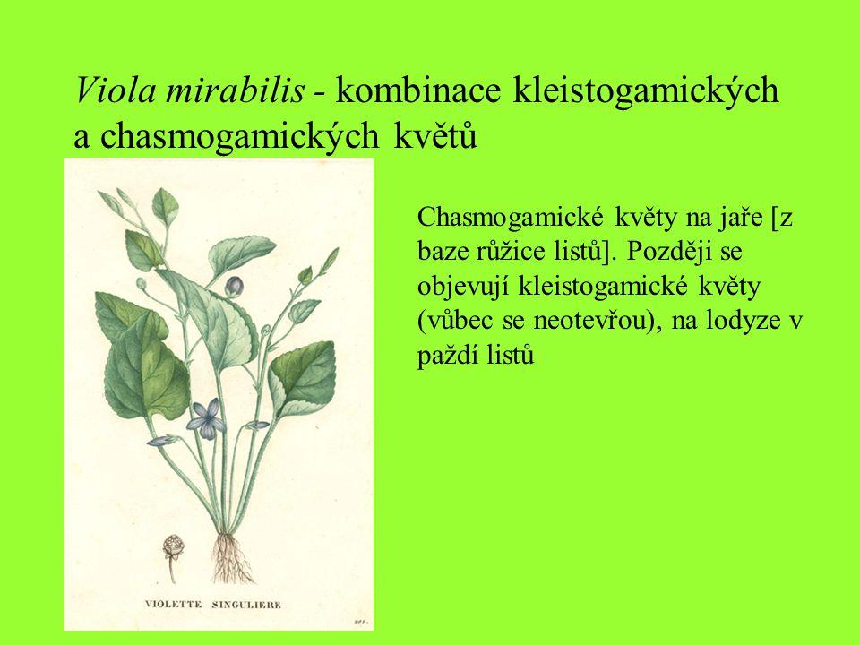 Viola mirabilis - kombinace kleistogamických a chasmogamických květů Chasmogamické květy na jaře [z baze růžice listů]. Později se objevují kleistogam