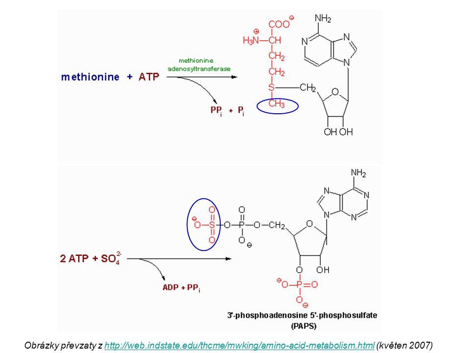 Obrázky převzaty z http://web.indstate.edu/thcme/mwking/amino-acid-metabolism.html (květen 2007)http://web.indstate.edu/thcme/mwking/amino-acid-metabo