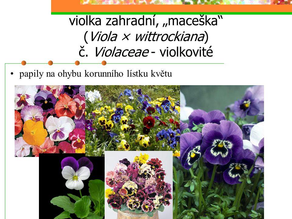 """violka zahradní, """"maceška"""" (Viola × wittrockiana) č. Violaceae - violkovité papily na ohybu korunního lístku květu"""
