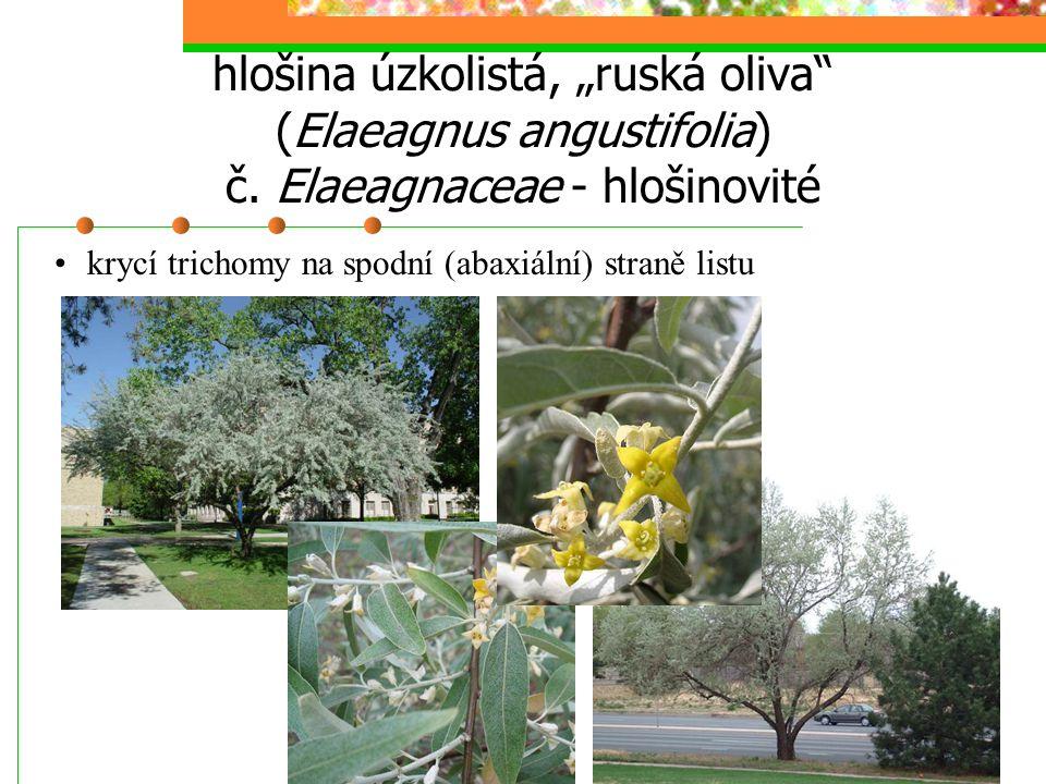 """hlošina úzkolistá, """"ruská oliva"""" (Elaeagnus angustifolia) č. Elaeagnaceae - hlošinovité krycí trichomy na spodní (abaxiální) straně listu"""