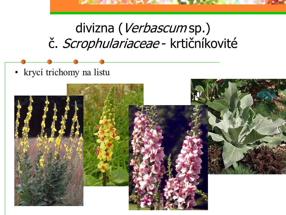 divizna (Verbascum sp.) č. Scrophulariaceae - krtičníkovité krycí trichomy na listu