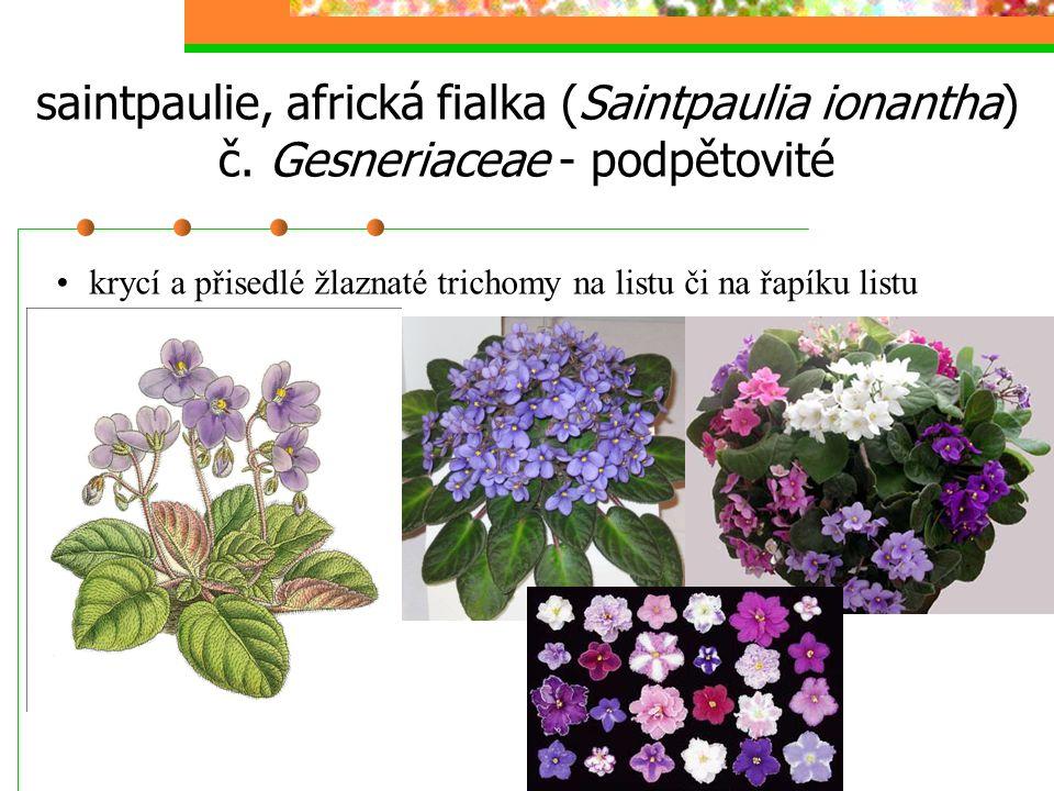 saintpaulie, africká fialka (Saintpaulia ionantha) č. Gesneriaceae - podpětovité krycí a přisedlé žlaznaté trichomy na listu či na řapíku listu