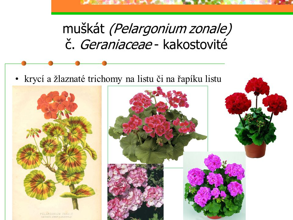 muškát (Pelargonium zonale) č.