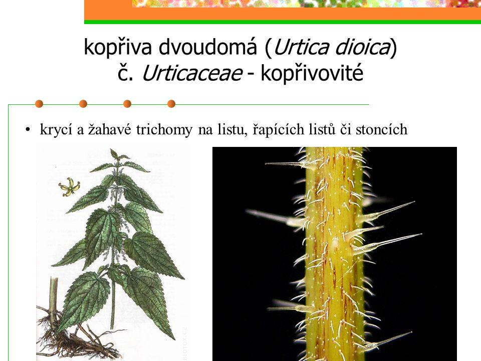 kopřiva dvoudomá (Urtica dioica) č. Urticaceae - kopřivovité krycí a žahavé trichomy na listu, řapících listů či stoncích