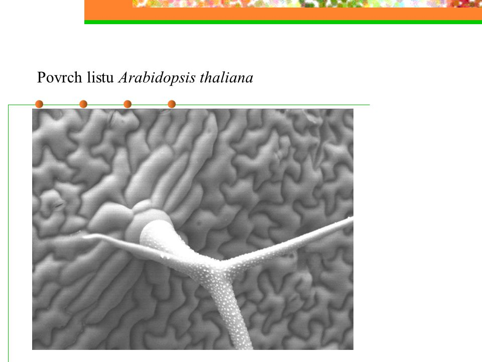 Povrch listu Arabidopsis thaliana