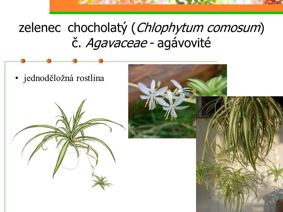 zelenec chocholatý (Chlophytum comosum) č. Agavaceae - agávovité jednoděložná rostlina
