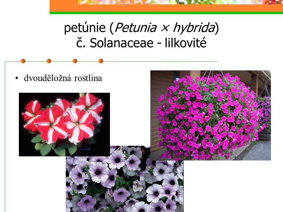 petúnie (Petunia × hybrida) č. Solanaceae - lilkovité dvouděložná rostlina