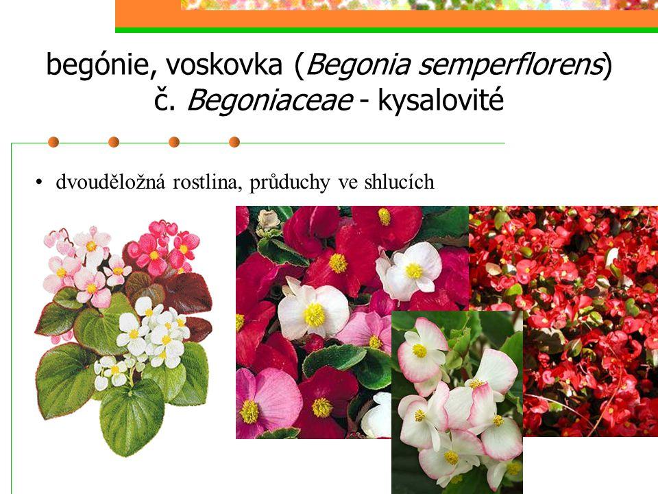 begónie, voskovka (Begonia semperflorens) č. Begoniaceae - kysalovité dvouděložná rostlina, průduchy ve shlucích