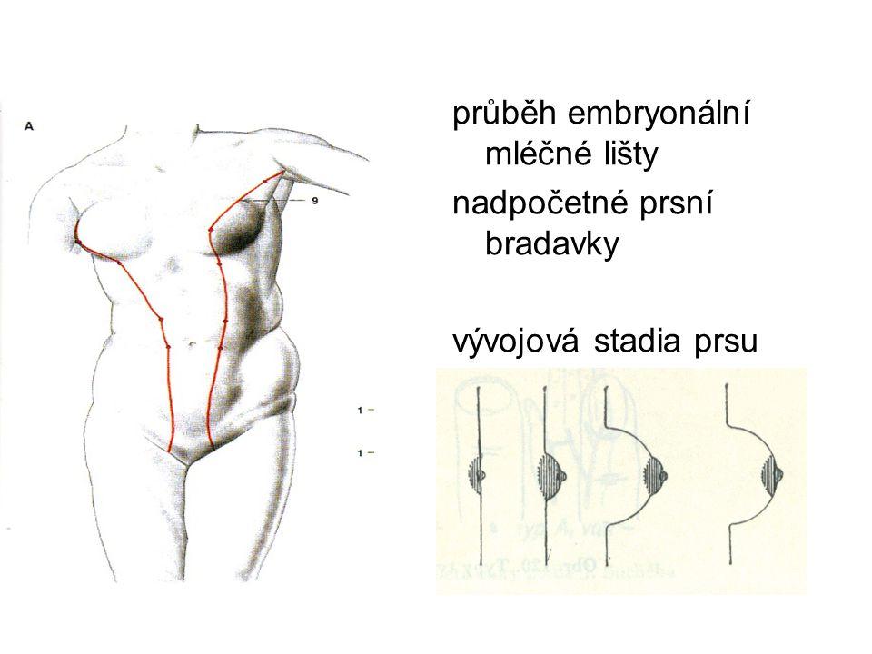 průběh embryonální mléčné lišty nadpočetné prsní bradavky vývojová stadia prsu