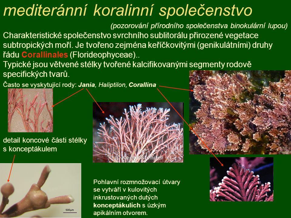 detail koncové části stélky s konceptákulem Charakteristické společenstvo svrchního sublitorálu přirozené vegetace subtropických moří. Je tvořeno zejm