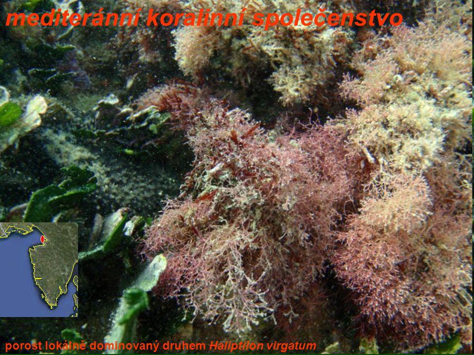 mediteránní koralinní společenstvo porost lokálně dominovaný druhem Haliptilon virgatum