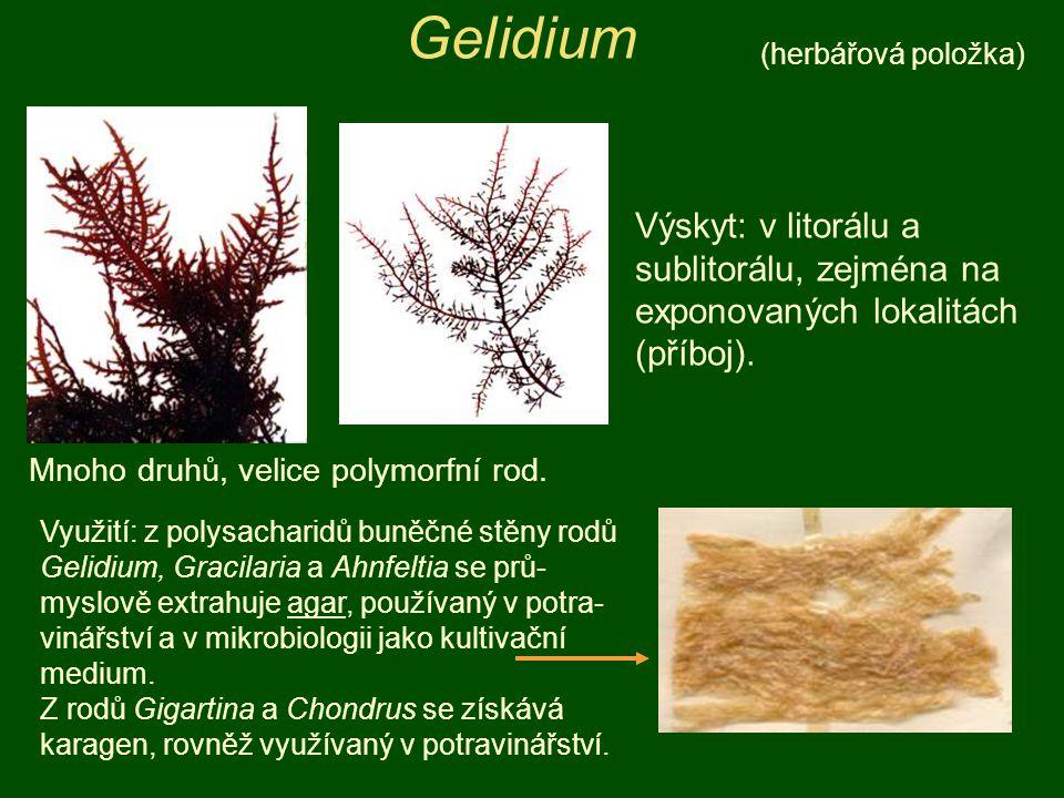 Gelidium Mnoho druhů, velice polymorfní rod. Výskyt: v litorálu a sublitorálu, zejména na exponovaných lokalitách (příboj). Využití: z polysacharidů b