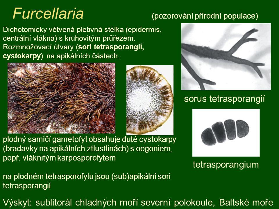 Furcellaria (pozorování přírodní populace) Výskyt: sublitorál chladných moří severní polokoule, Baltské moře Dichotomicky větvená pletivná stélka (epi