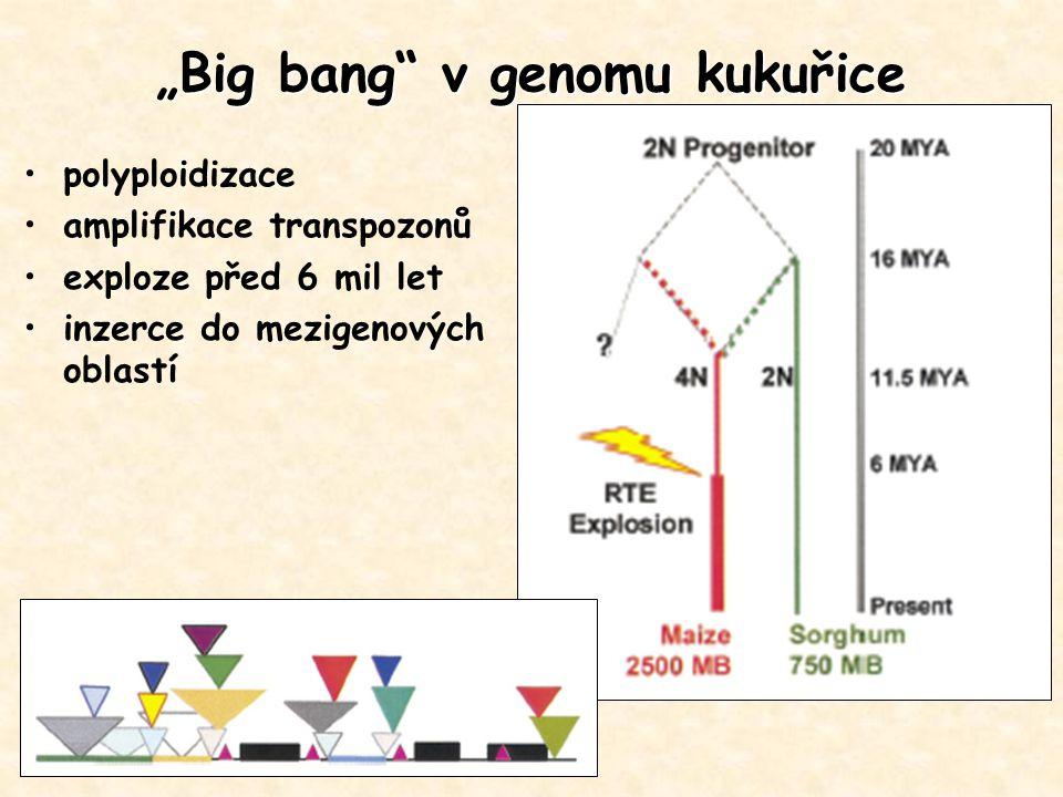 """""""Big bang"""" v genomu kukuřice polyploidizace amplifikace transpozonů exploze před 6 mil let inzerce do mezigenových oblastí"""