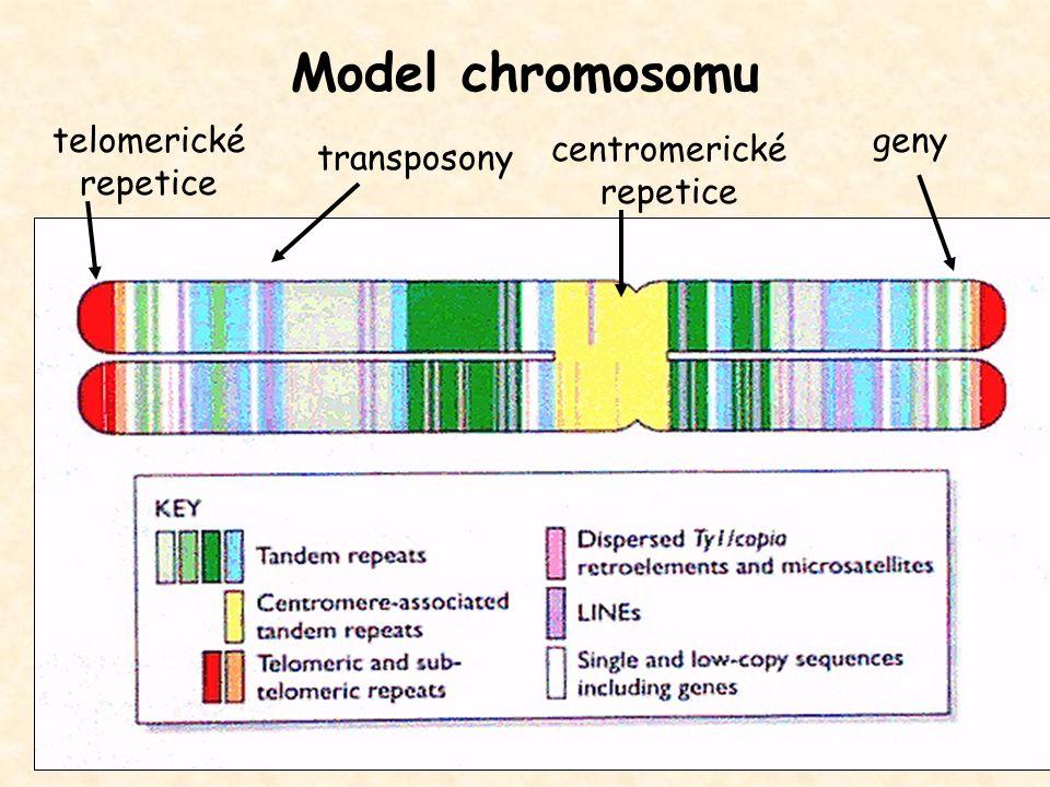 Model chromosomu telomerické repetice centromerické repetice geny transposony