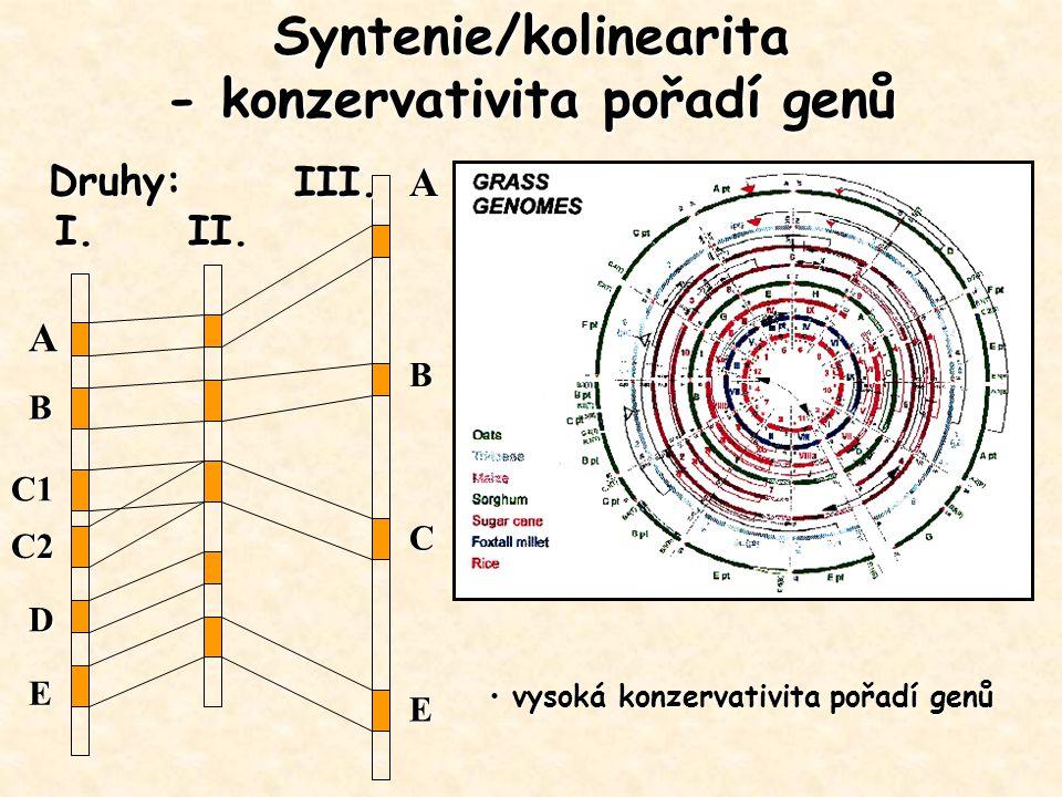 Syntenie/kolinearita - konzervativita pořadí genů A A B C1 C2 D E B C EDruhy:I.II. III. vysoká konzervativita pořadí genů vysoká konzervativita pořadí
