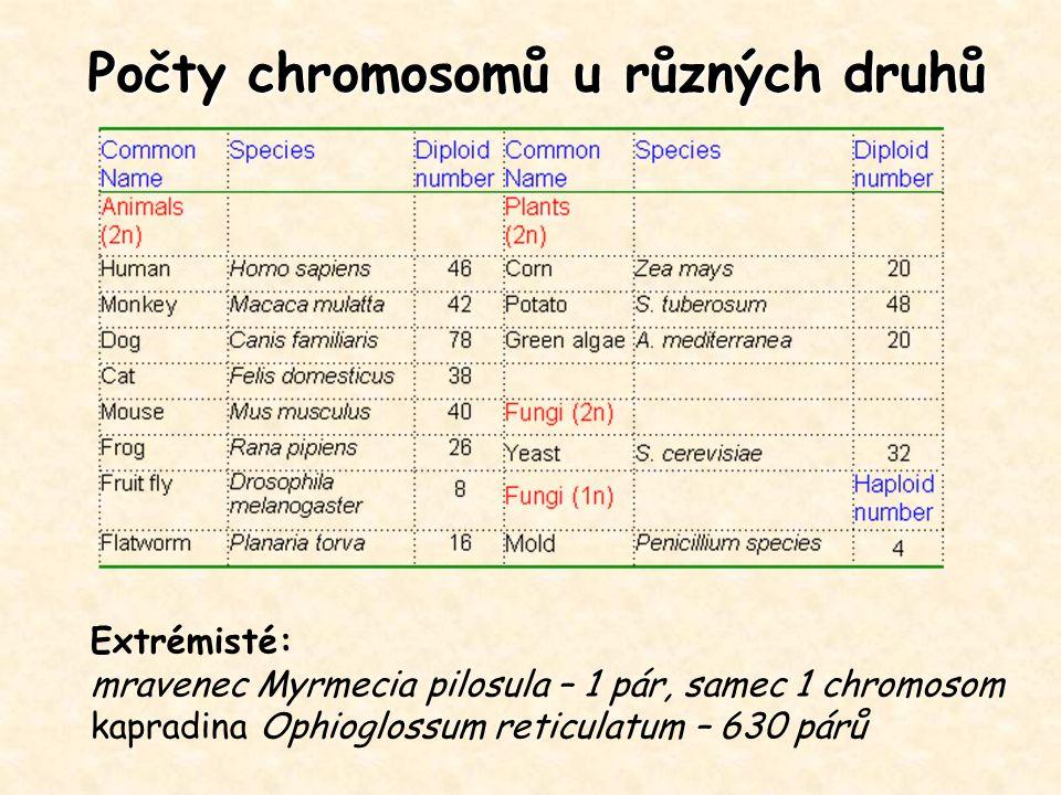 Počty chromosomů u různých druhů Extrémisté: mravenec Myrmecia pilosula – 1 pár, samec 1 chromosom kapradina Ophioglossum reticulatum – 630 párů