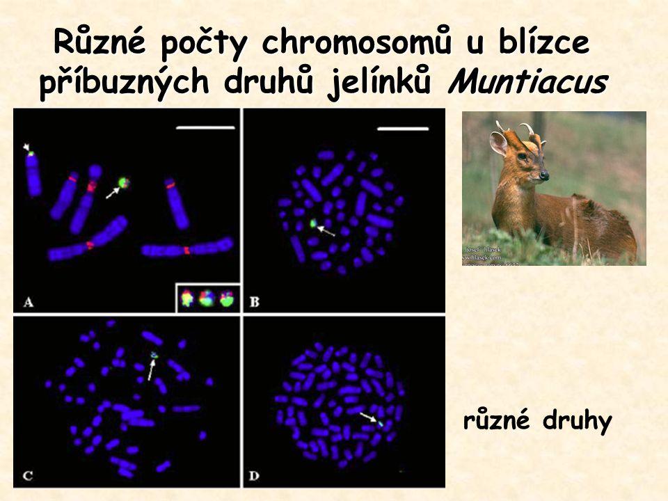 Různé počty chromosomů u blízce příbuzných druhů jelínků Muntiacus různé druhy