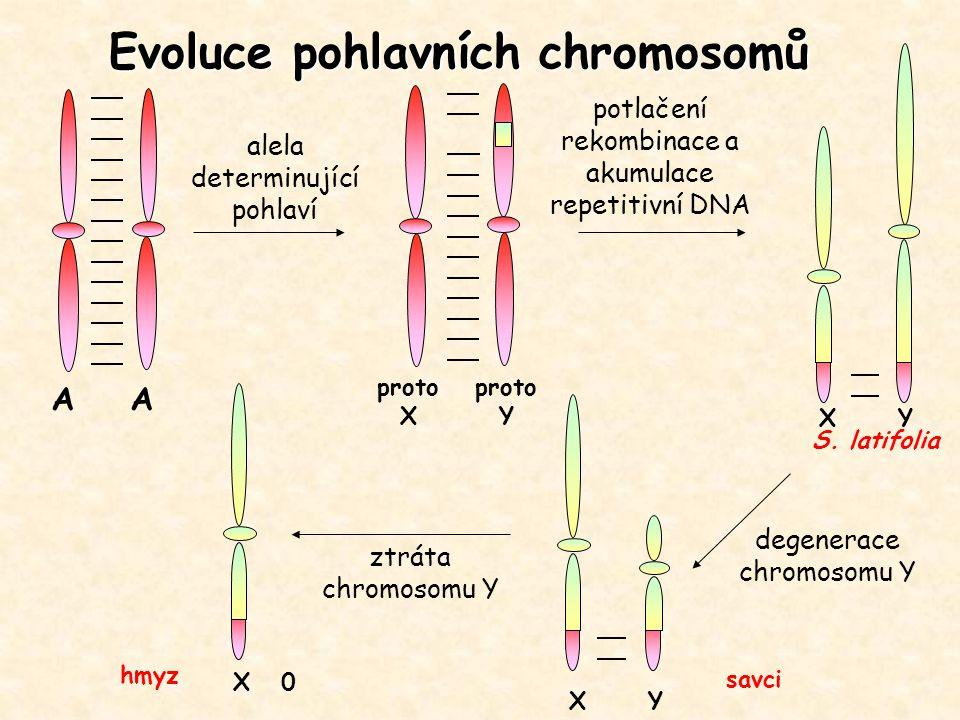 Evoluce pohlavních chromosomů A alela determinující pohlaví proto X proto Y potlačení rekombinace a akumulace repetitivní DNA X Y X 0 S. latifolia sav