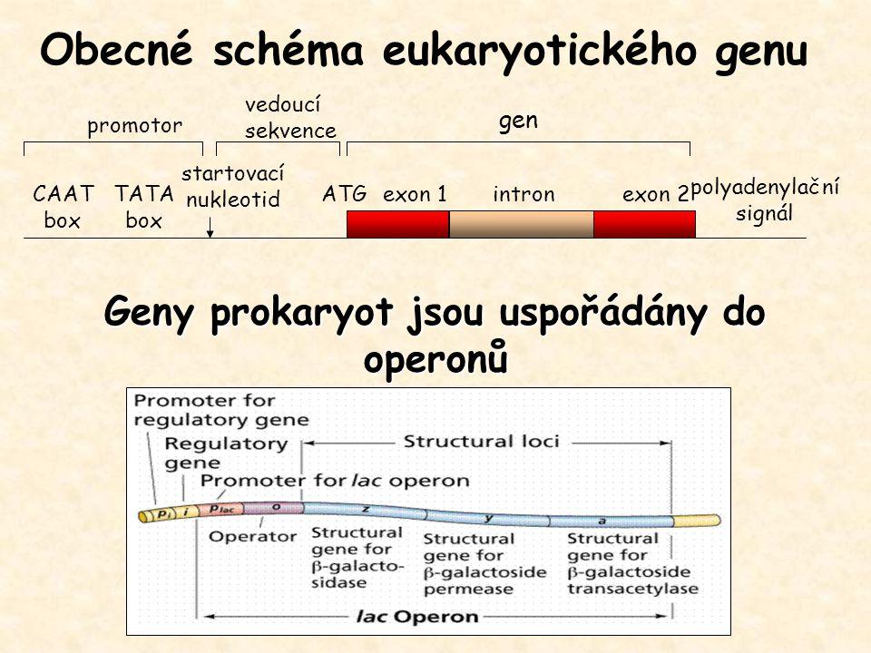 gen exon 1exon 2intronATG promotor polyadenylační signál Obecné schéma eukaryotického genu CAAT box TATA box startovací nukleotid vedoucí sekvence Gen