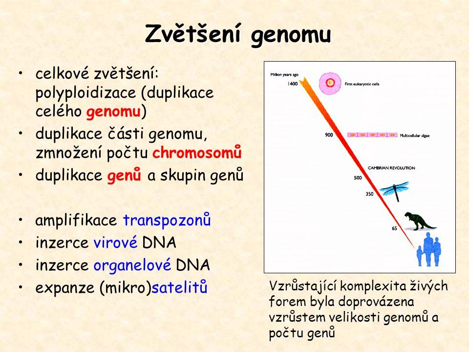 Zvětšení genomu celkové zvětšení: polyploidizace (duplikace celého genomu) duplikace části genomu, zmnožení počtu chromosomů duplikace genů a skupin g