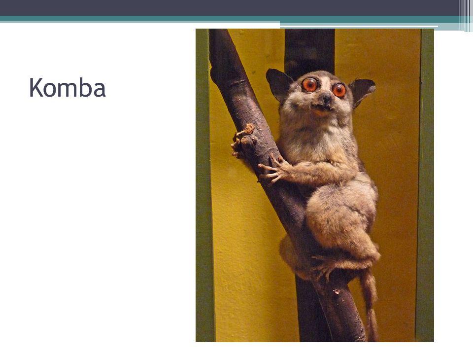 PRIMÁTI – OPICE A LIDOOPI Kočkodani ▫Žijí v Africe na jih od Sahary ▫Většina žije stromovým způsobem života ▫Dlouhý ocas ▫Pralesní druhy pestře zbarveny Makak rhesus ▫V minulosti chovaný jako laboratorní zvíře