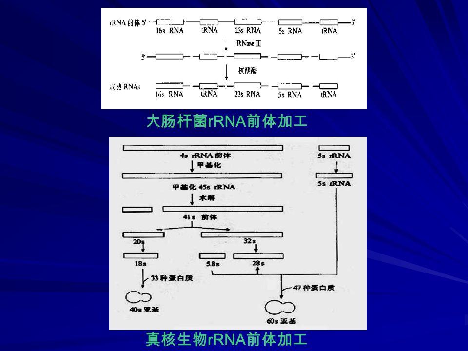 大肠杆菌 rRNA 前体加工 真核生物 rRNA 前体加工