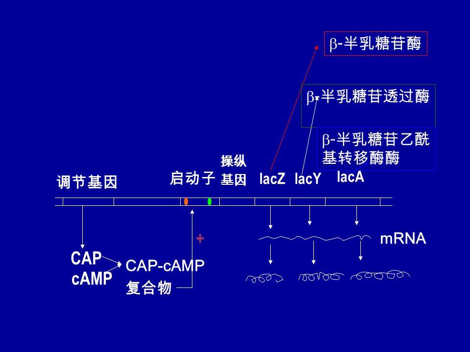 调节基因 启动子 操纵 基因 lacZlacY lacA CAP cAMP CAP-cAMP 复合物 mRNA +  - 半乳糖苷酶  - 半乳糖苷透过酶  - 半乳糖苷乙酰 基转移酶酶