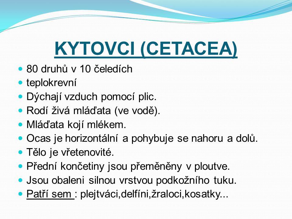 KYTOVCI (CETACEA) 80 druhů v 10 čeledích teplokrevní Dýchají vzduch pomocí plic. Rodí živá mláďata (ve vodě). Mláďata kojí mlékem. Ocas je horizontáln