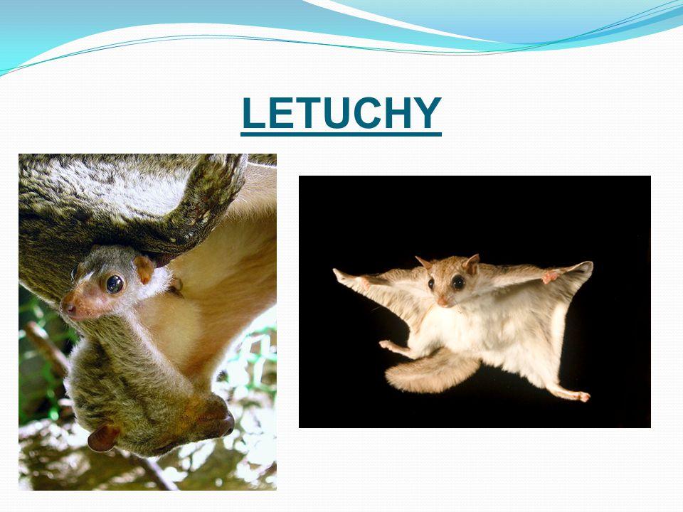 LETUCHY