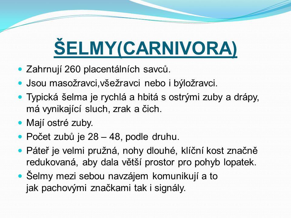 ŠELMY(CARNIVORA) Zahrnují 260 placentálních savců. Jsou masožravci,všežravci nebo i býložravci. Typická šelma je rychlá a hbitá s ostrými zuby a drápy