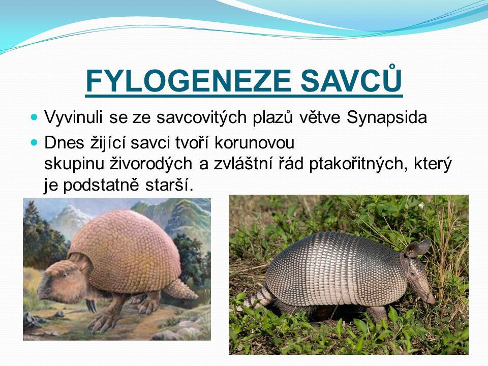FYLOGENEZE SAVCŮ Vyvinuli se ze savcovitých plazů větve Synapsida Dnes žijící savci tvoří korunovou skupinu živorodých a zvláštní řád ptakořitných, kt