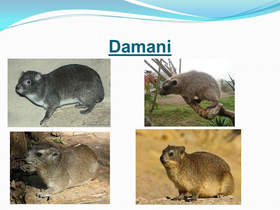 Damani