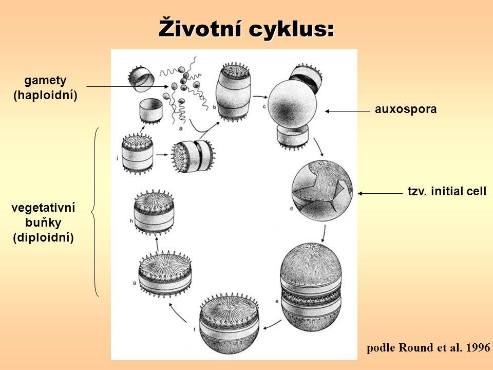Životní cyklus: podle Round et al. 1996 vegetativní buňky (diploidní) auxospora gamety (haploidní) tzv. initial cell