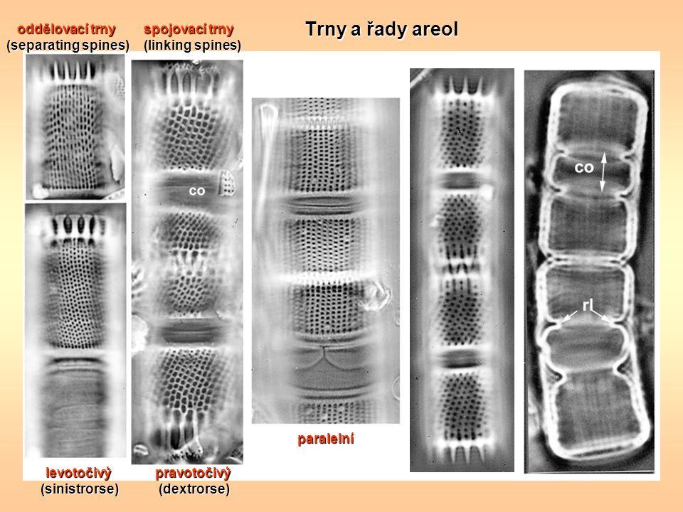 Trny a řady areol spojovací trny (linking spines) oddělovací trny (separating spines) levotočivý(sinistrorse)pravotočivý(dextrorse) paralelní