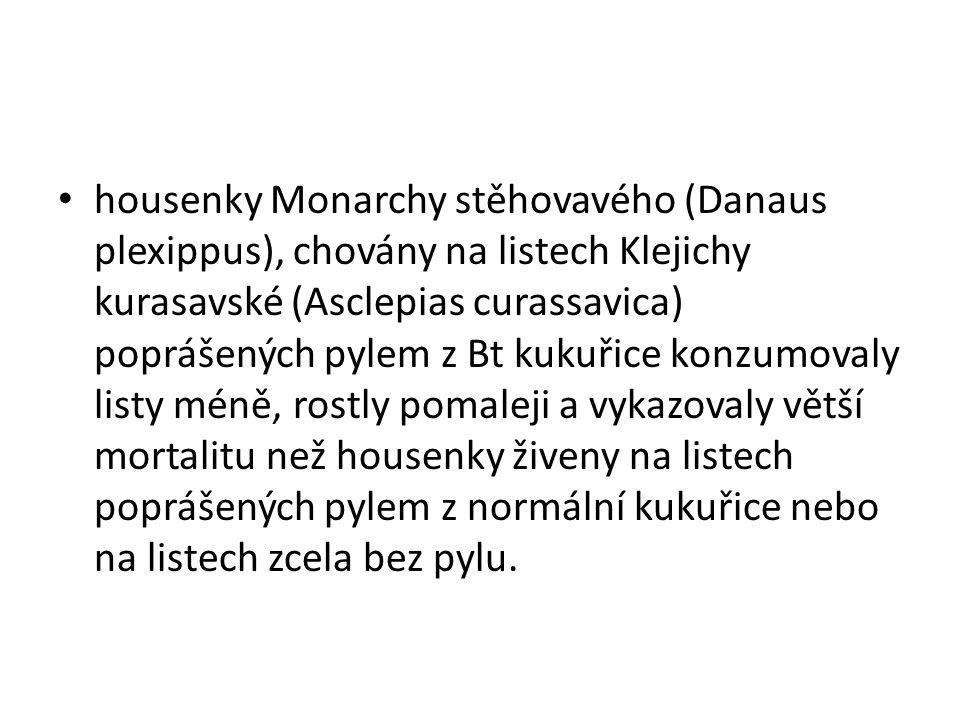 housenky Monarchy stěhovavého (Danaus plexippus), chovány na listech Klejichy kurasavské (Asclepias curassavica) poprášených pylem z Bt kukuřice konzu