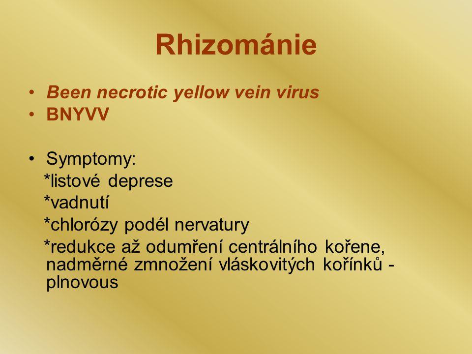 Rhizománie Been necrotic yellow vein virus BNYVV Symptomy: *listové deprese *vadnutí *chlorózy podél nervatury *redukce až odumření centrálního kořene, nadměrné zmnožení vláskovitých kořínků - plnovous
