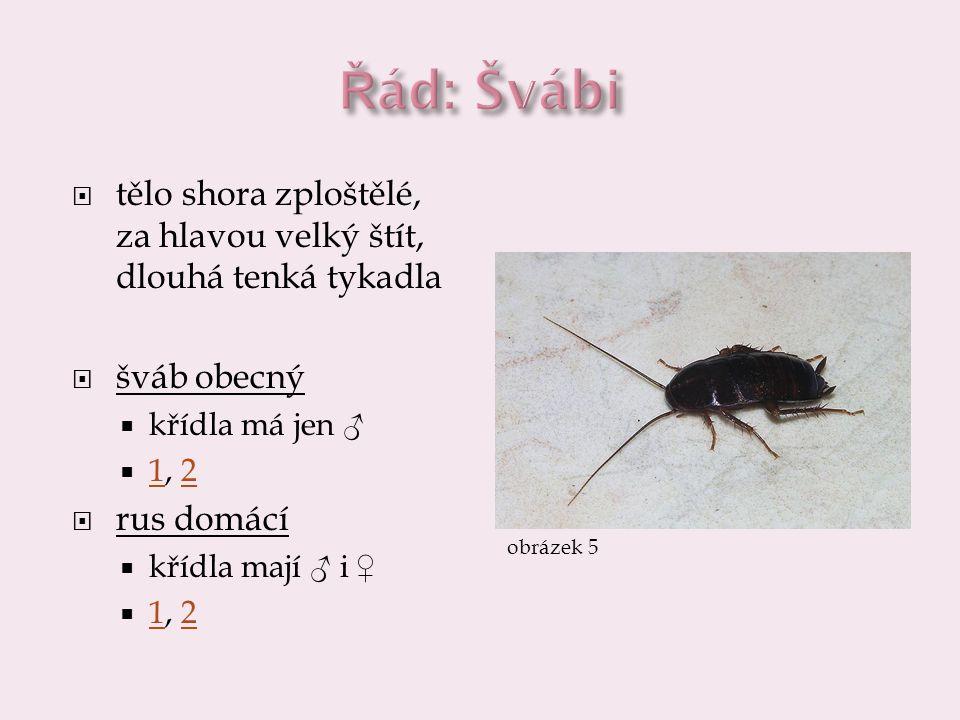  tělo shora zploštělé, za hlavou velký štít, dlouhá tenká tykadla  šváb obecný  křídla má jen ♂  1, 2 12  rus domácí  křídla mají ♂ i ♀  1, 2 1