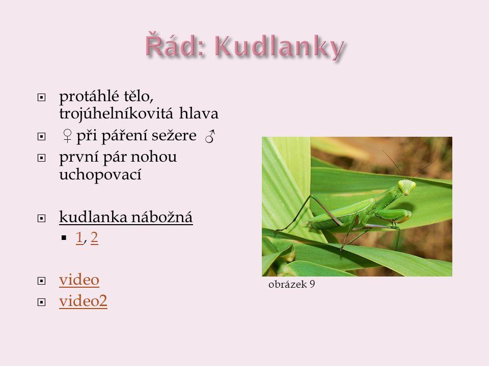  protáhlé tělo, trojúhelníkovitá hlava  ♀ při páření sežere ♂  první pár nohou uchopovací  kudlanka nábožná  1, 2 12  video video  video2 video2 obrázek 9