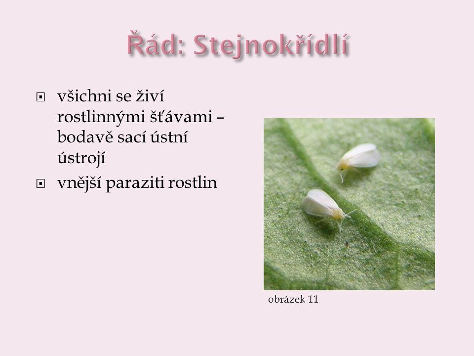  všichni se živí rostlinnými šťávami – bodavě sací ústní ústrojí  vnější paraziti rostlin obrázek 11