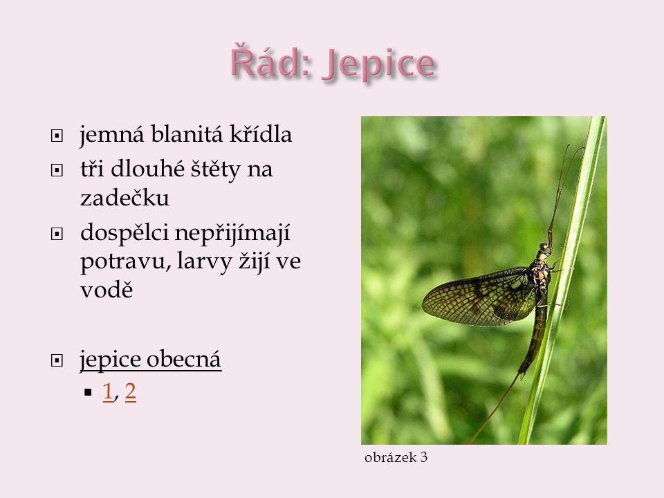  jemná blanitá křídla  tři dlouhé štěty na zadečku  dospělci nepřijímají potravu, larvy žijí ve vodě  jepice obecná  1, 2 12 obrázek 3