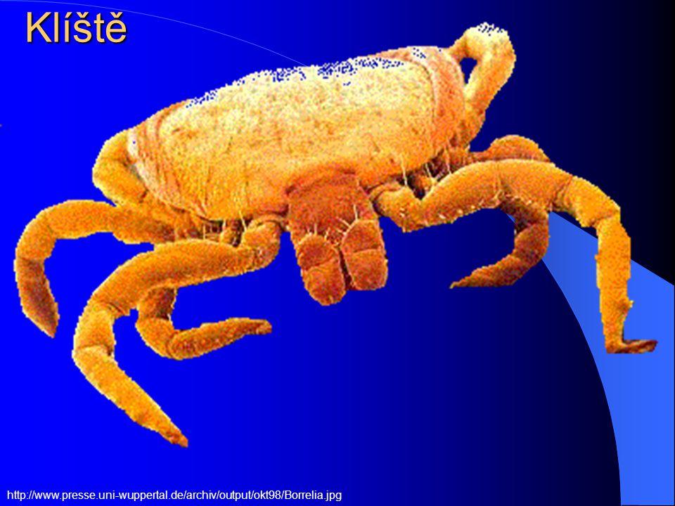 Klíšťata (Ixodes sp. a další druhy) Přisát se může larva, nymfa či dospělec Přisát se může larva, nymfa či dospělec Přisátí nymfy nemusíme zaznamenat