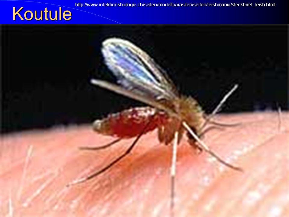 Koutule (flebotomové) Flebotomové či koutule se podílejí na přenosu různých onemocnění, např. horečky papatači nebo některých leishmanióz Flebotomové