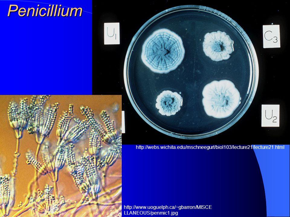 Rod Penicillium – Plíseň štetičková Patogenita pro člověka je nízká. Závažnější je jihoasijský druh Penicillium marneffei, jehož rezervoárem jsou bamb